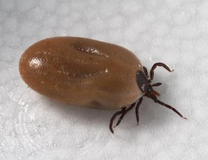 Ixodid ticks are the vectors for CCHFV and SFTSV. Credit: Center for Disease Control Public Health Image Library.