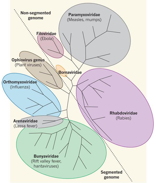 Bunyavirus evolutionary relationships with other negative-sense RNA viruses. From Rey, 2010 http://www.nature.com/nature/journal/v468/n7325/full/468773a.html
