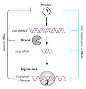 invertebrate RNAi as an antiviral pathway (Van Rij lab http://vanrijlab.org/research/)