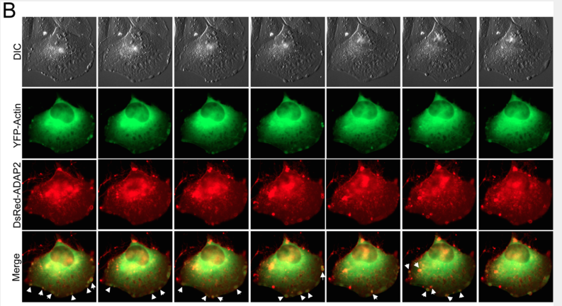 Cells expressing green actin and red ADAP2. Membrane ruffling shown with white arrows (Shu et al., 2015)