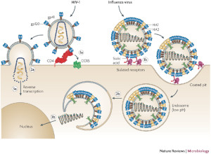 Cartoon depiction of Influenza and HIV entry pathways Hedestam et al., 2008